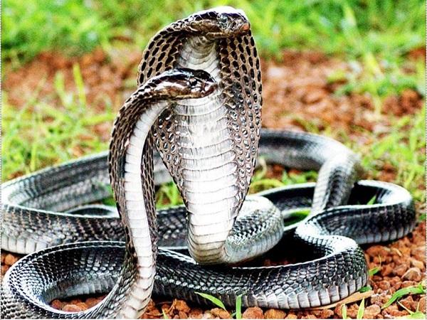 Nằm mơ thấy rắn hổ mang điềm báo điều gì