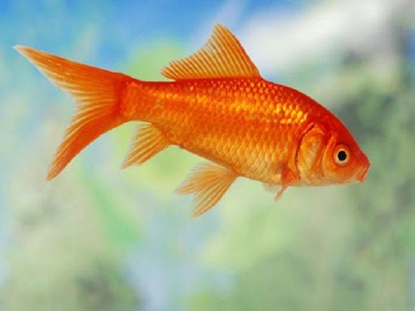 Mơ thấy cá chép có điềm báo gì? giải mã giấc mơ cá chép?