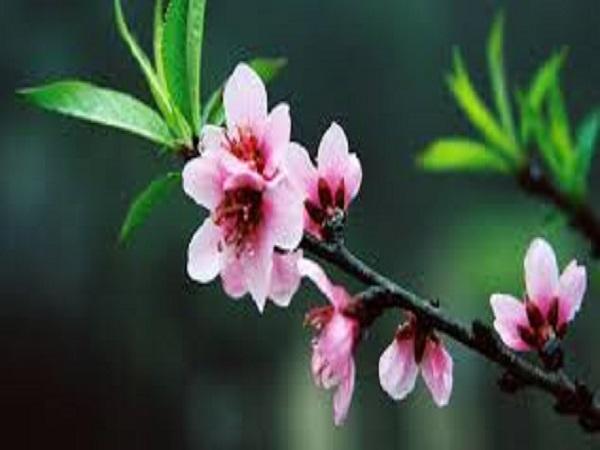 Mơ thấy hoa đào có điềm báo gì? giải mã giấc mơ thấy hoa đào?