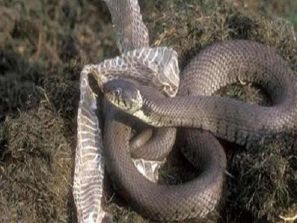 Mơ thấy rắn lột xác điềm gì?