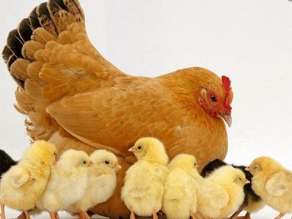 Mơ thấy gà con có điềm báo gì? tốt hay xấu?